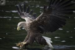 White Tailed Eagle Fishing | Scotland Pygargue à queue blanche | Ecosse