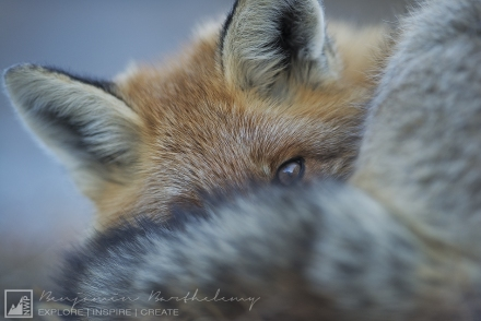 Closed Portrait of Red Fox during sleeping (Vulpes vulpes) Vanoise National Park Rhône Alpes France October Autumn