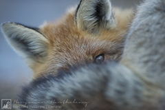 Closed Portrait of Red Fox during sleeping (Vulpes vulpes) Vanoise National Park Rhône Alpes France October Autumn