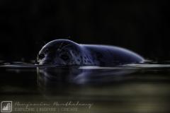 Grey Seal;(Halichoerus grypus L.); portrait; United Kingdom; Lincolnshire; Donna Nook; January