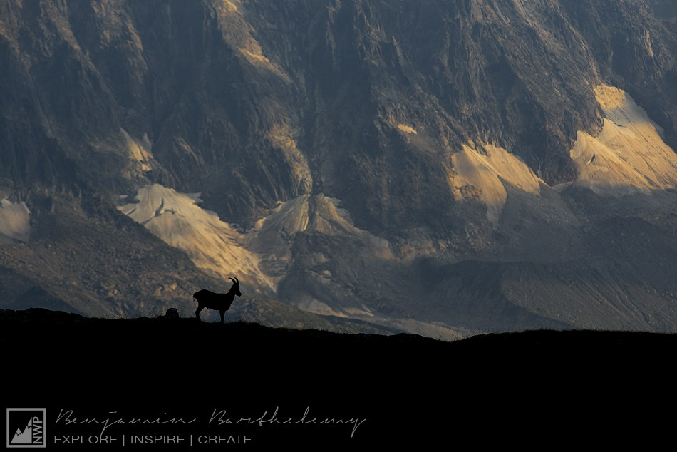 Backlight of Ibex in front of the Giants of the Mont Blanc (Capra Ibex L.) Young Male Ibex Haute Savoie Réserve Naturelle Nationale des Aiguilles rouges summer August